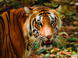 Tiger Park Half Day Tour