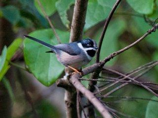 Da Lat Plateau Endemic Bird Area (B, L)
