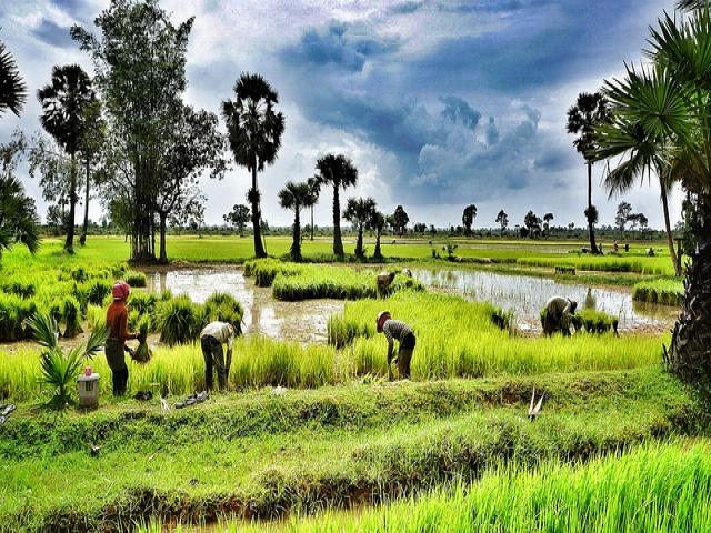 ricefield_in_cambodia_0.jpeg